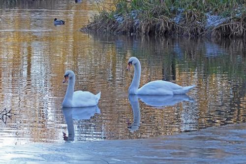 swans eskrigg