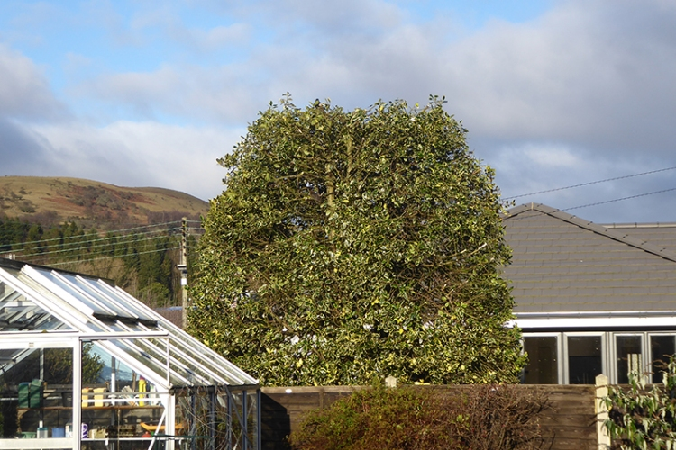 holly tree clipping