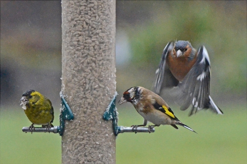 siskin, goldfinch and chaffinch
