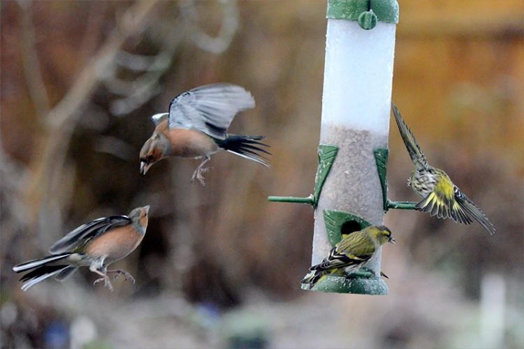 chaffinches and siskin