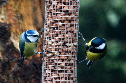 great tit and blue tit