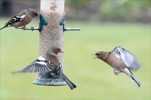 shouting chaffinch
