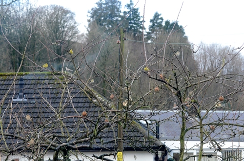 plum tree birds