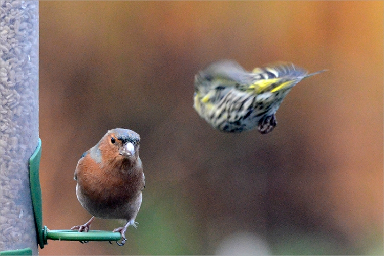 chaffinch and siskin bomb