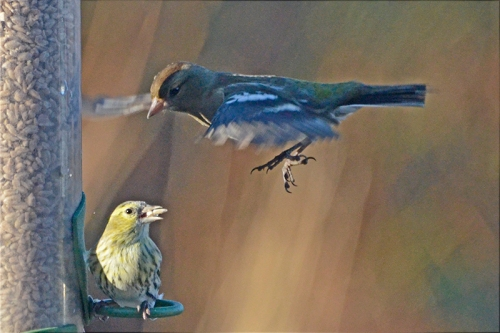 flying chaffinch and siskin