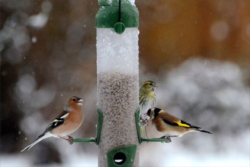 chaffinch, goldfinch, siskin