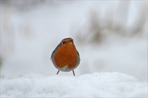 robin in snow