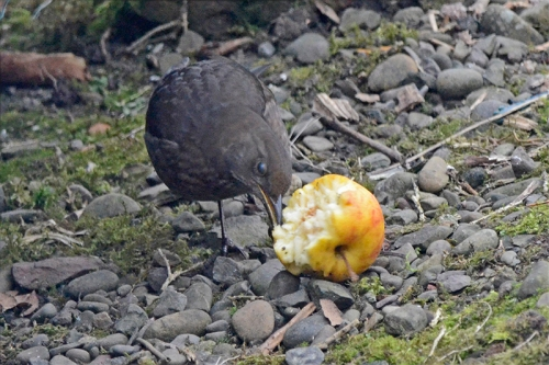 blackbird with apple