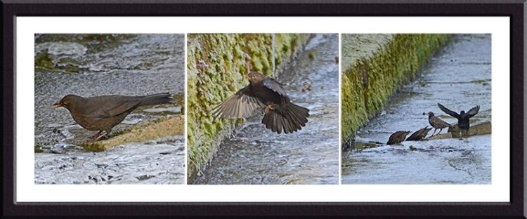 blackbirds on dam