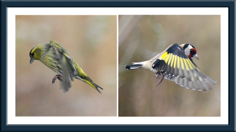 siskin and goldfinch