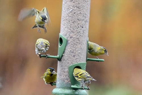siskins busy feeder