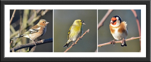 chaffinch, siskin and goldfinch