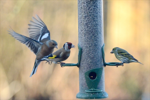 chaffinch, siskin, goldfinch