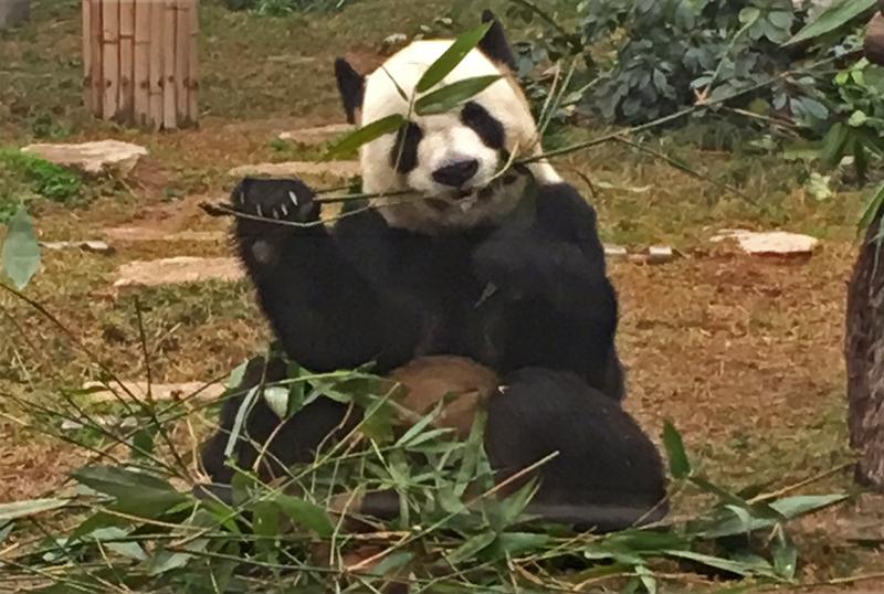 panda Macao