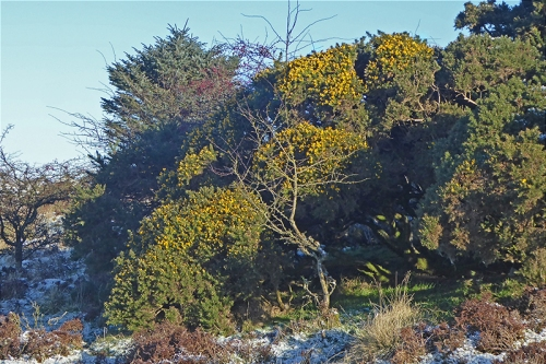 winter gorse