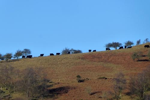 horizon cattle
