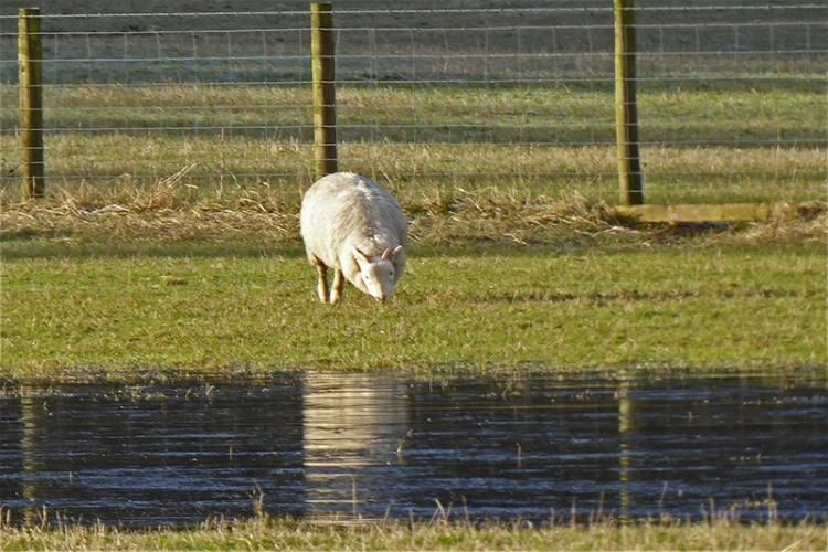 sheep with ice