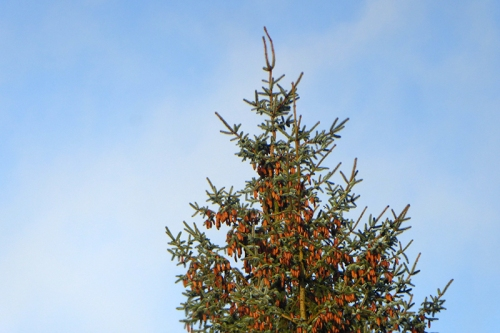 conifer with cones