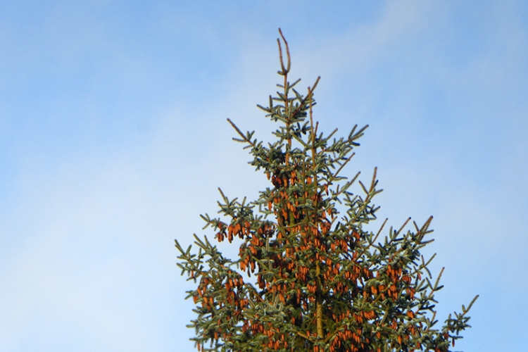 conifer with cones