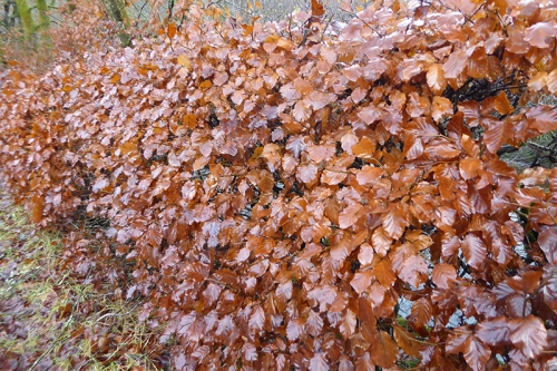 beech hedge in winter
