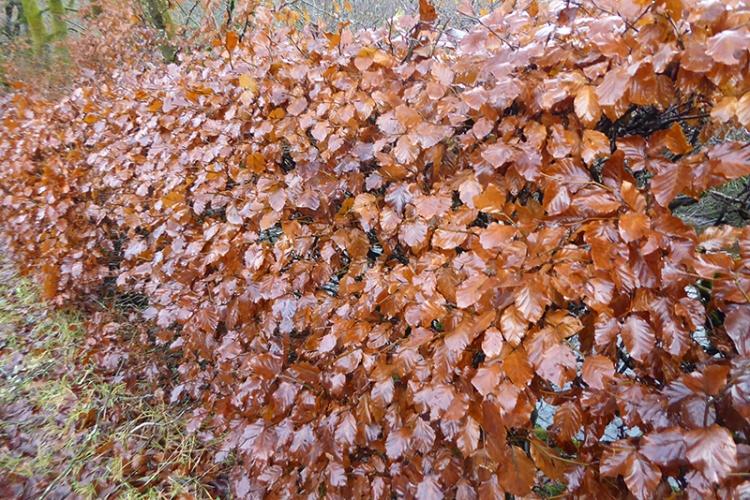 beech hedge in winter