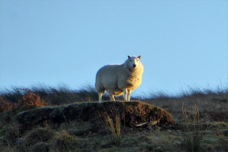 sheep on warbla