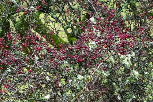 haws and lichen