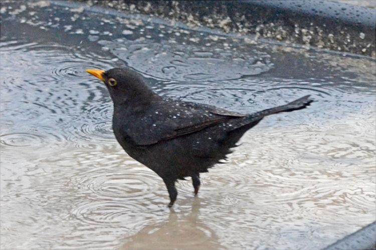paddling blackbird