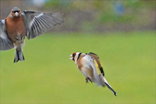 flying chaffinch and flying goldfinch