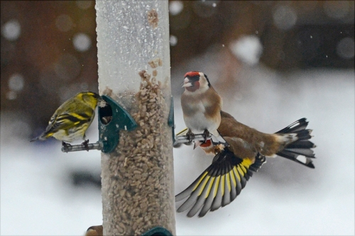 busy feeder snow