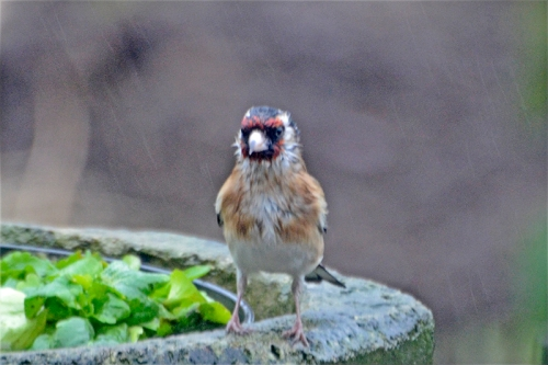 wet goldfinch