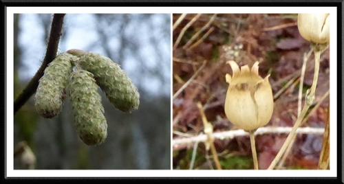 catkin and seed head