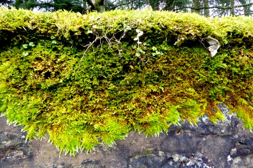 moss on Scholars Wall