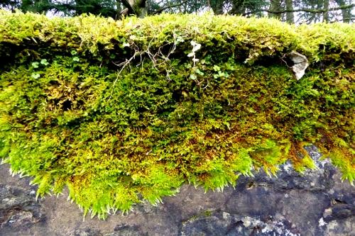 moss on Scholars Wall