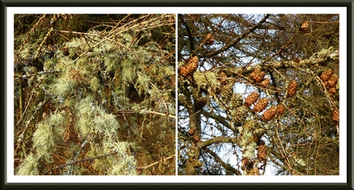 lichen and cones