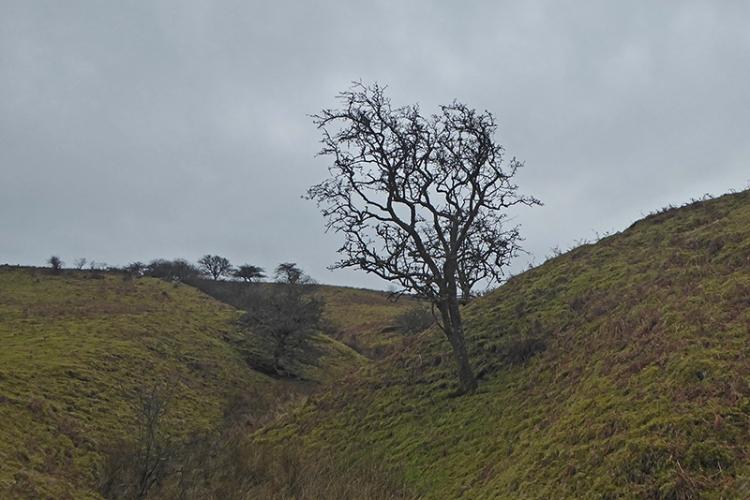 Earnshaw burn tree
