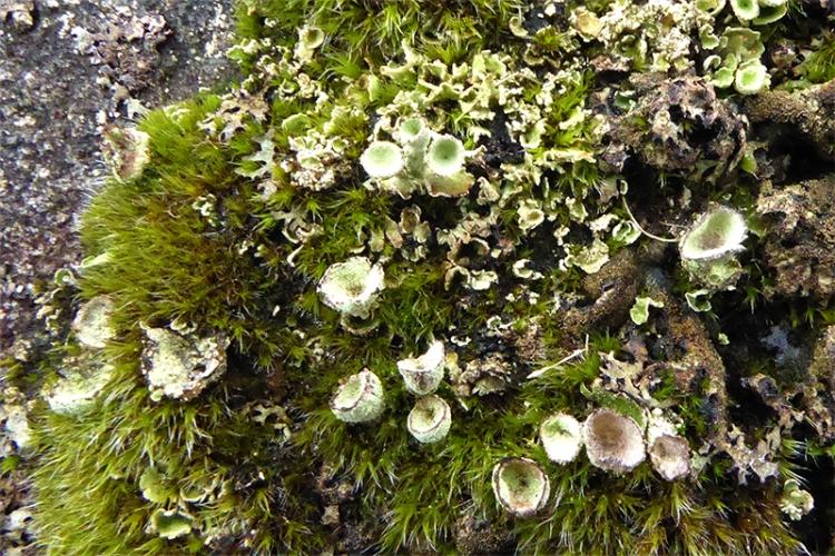 Earnshaw bridge lichen