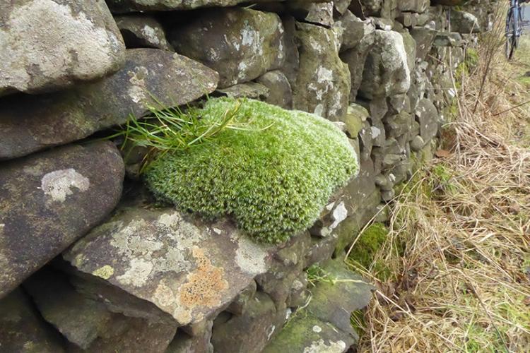 wall moss