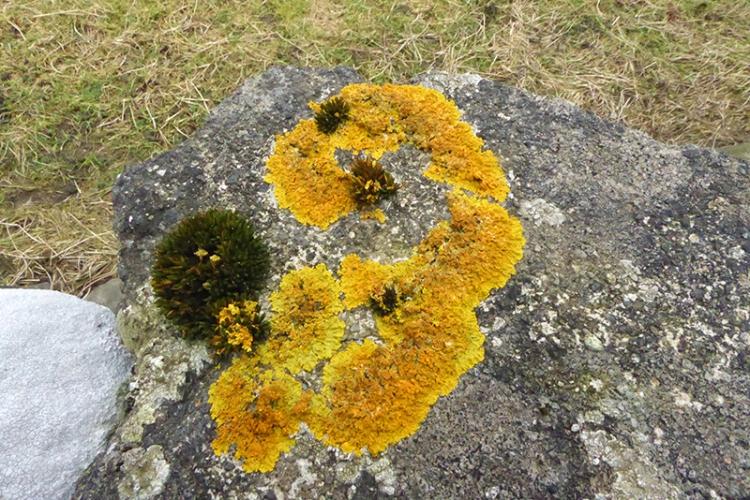 wall lichen Xanthoria parietina