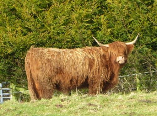 highland cow canonbie