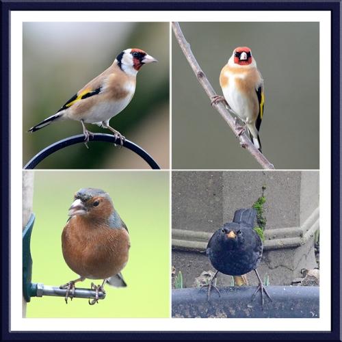 goldfinches, chaffinch and blackbird