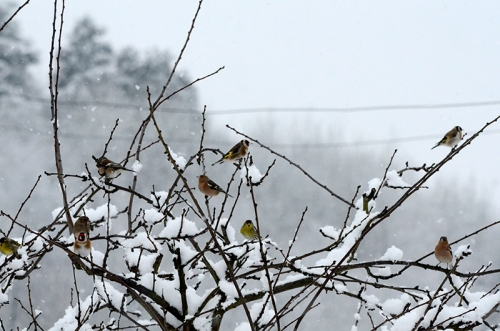 snowy plum tree chaffinches