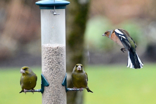 blacgreenfinches and chaffinch
