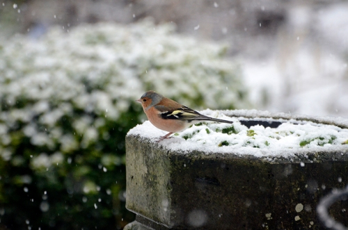 chaffinch in snow
