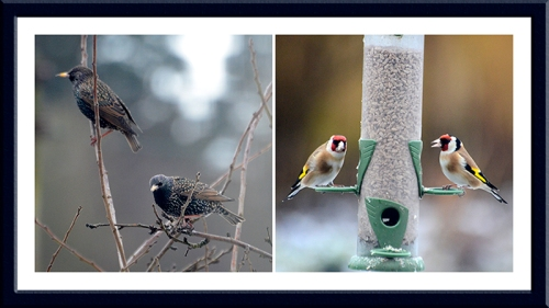 starlings and goldfinches