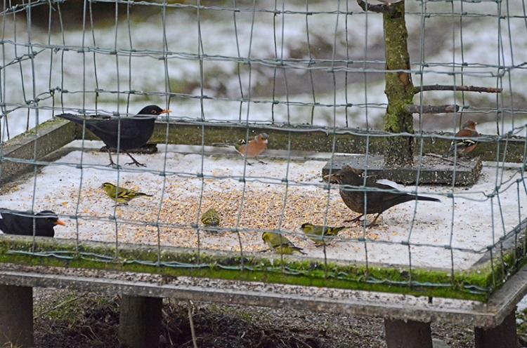 siskins and blackbirds