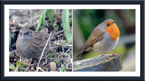 dunnock and robin