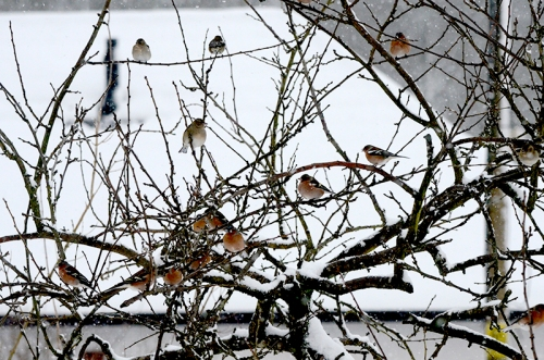 plum tree with chaffinches