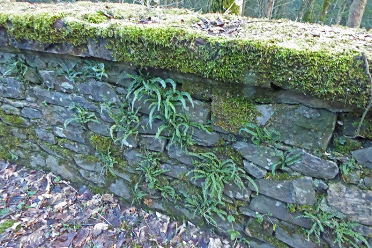 spleenwort wall