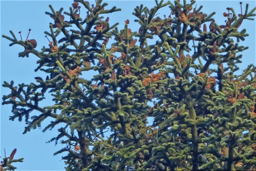 noble fir cones